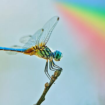 Quot Rainbow Dragonfly Quot By Bonnie T Barry Redbubble